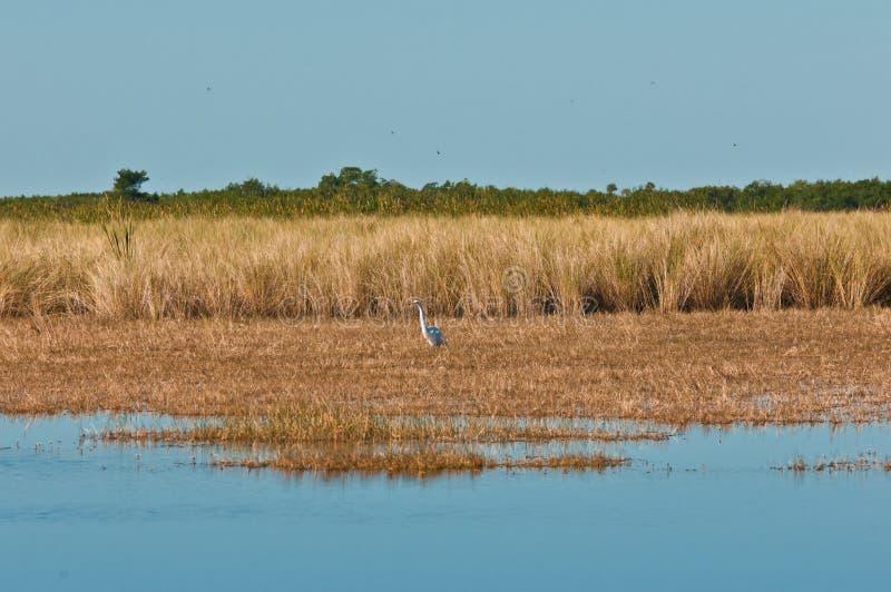 Tri покрашенный egret wading через подпор заповедника большого кипариса национальный стоковое фото