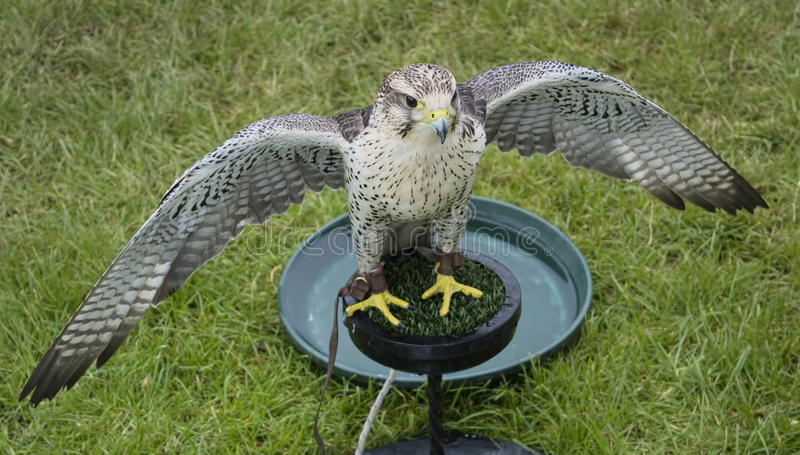 Tri bred falcon wings spread. Tri bred falcon with wings open on display at Royal Bath and West Show 2014 stock photos