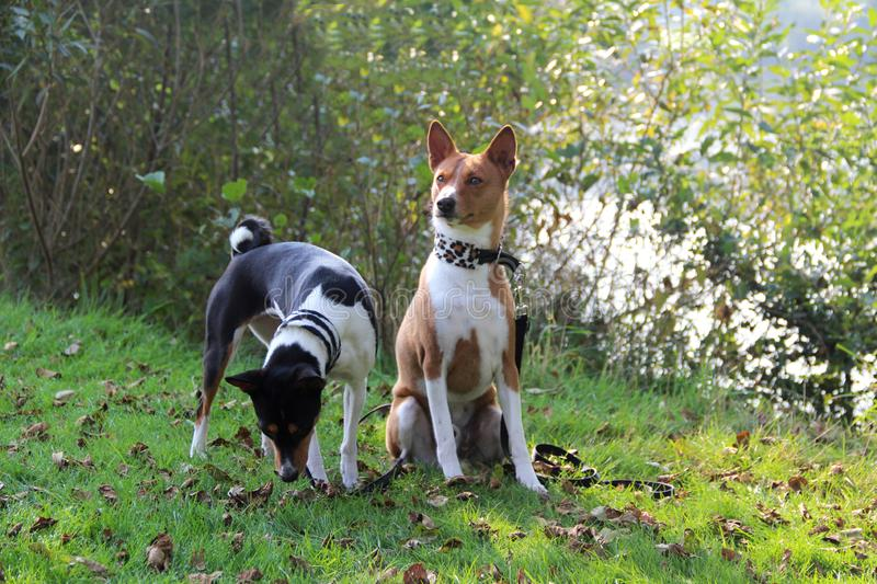 A tri color basenji next to a sitting two tone basenji in a natural landscape in meppen emsland niedersachsen germany. A tri color basenji standing with the nose stock photo