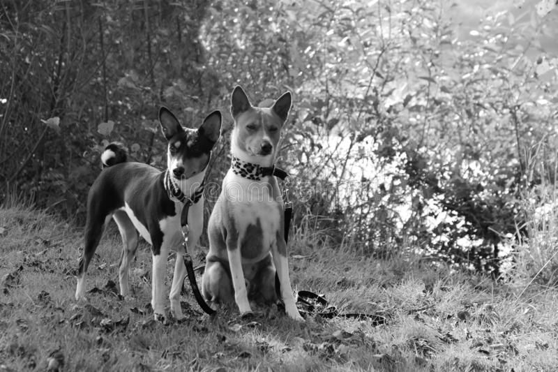A tri color basenji standing next to a sitting two tone basenji in a natural landscape in meppen emsland niedersachsen germany. Photographed in black and white stock images