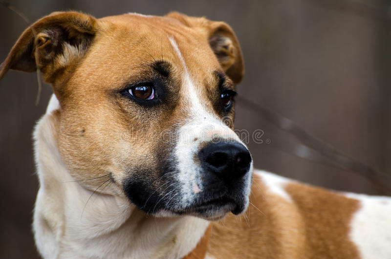 Tri-color mixed breed hound dog. Walton County Animal Control, humane society adoption photo, outdoor pet photography stock images