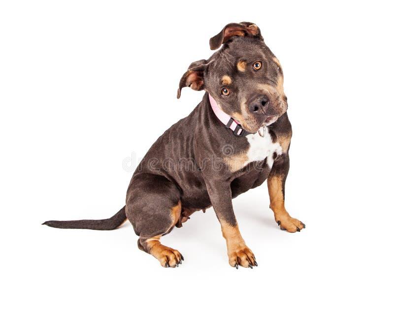 Tri colore Pit Bull Dog Tilting Head immagini stock