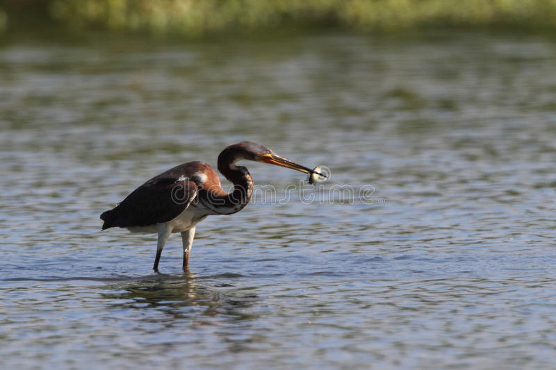 Tri Colored Heron Royalty Free Stock Photography