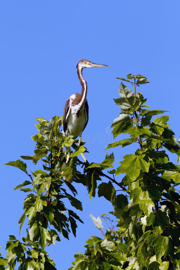 Tri colored heron on branch. A tri colored heron is perched on a tree branch in Lake Woodruff park in Deland, Florida stock image