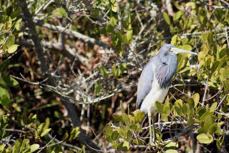 Tri-Colored Heron stock photography