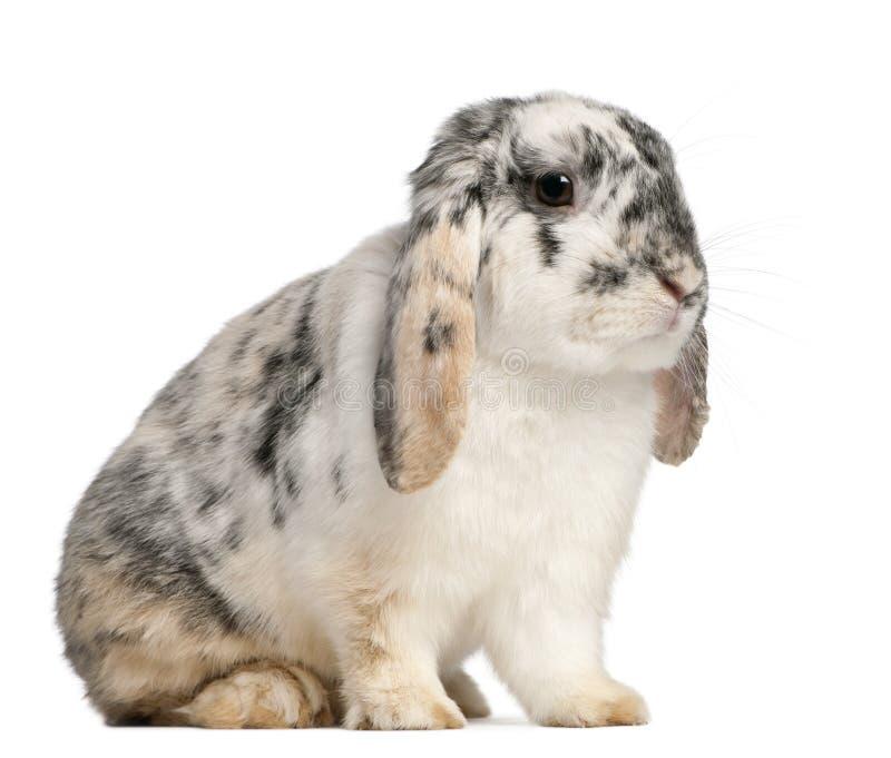 A tri cor manchou o coelho francês do Lop, 2 meses fotografia de stock royalty free