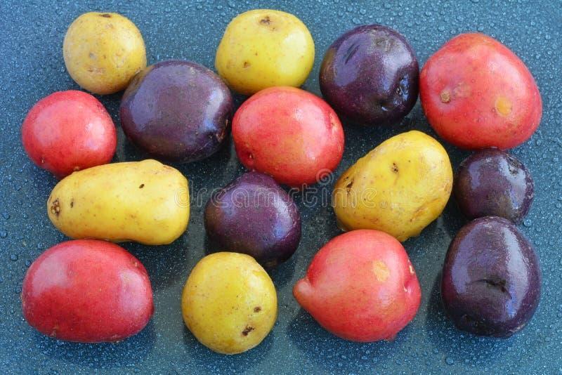 Tri-färg mini- potatisar på blå bakgrund arkivbild