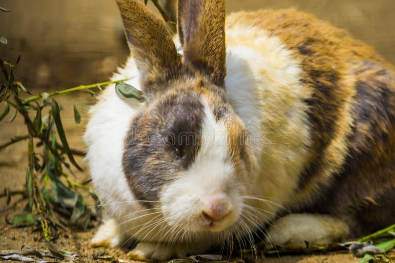 Tri gekleurd Nederlands konijn met zijn gezicht in close-up, populair konijntjesras van Nederland stock foto's