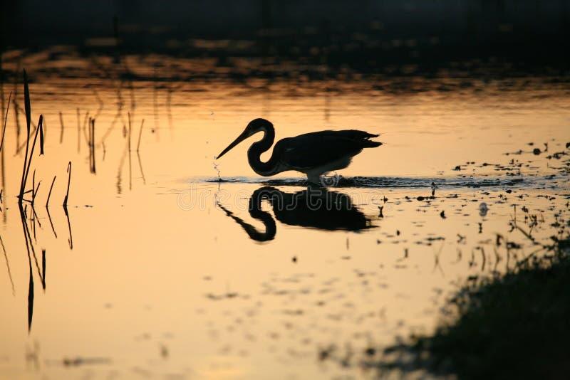 Download Tri kulör heron fotografering för bildbyråer. Bild av herons - 521263