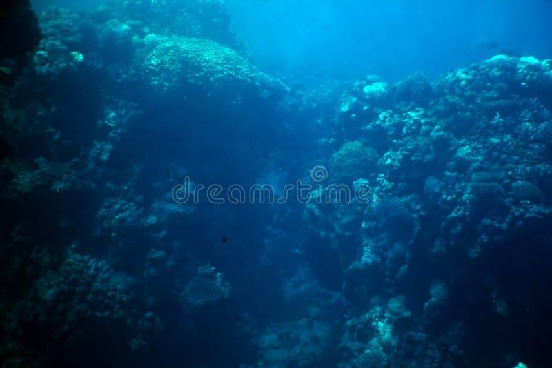 triaenodon rafowy obesus rekin whitetip obrazy royalty free