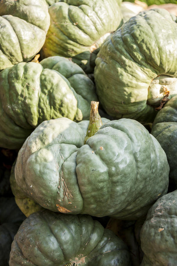 Triamble Tristar cucurbita pumpkin pumpkins from autumn harvest royalty free stock photo