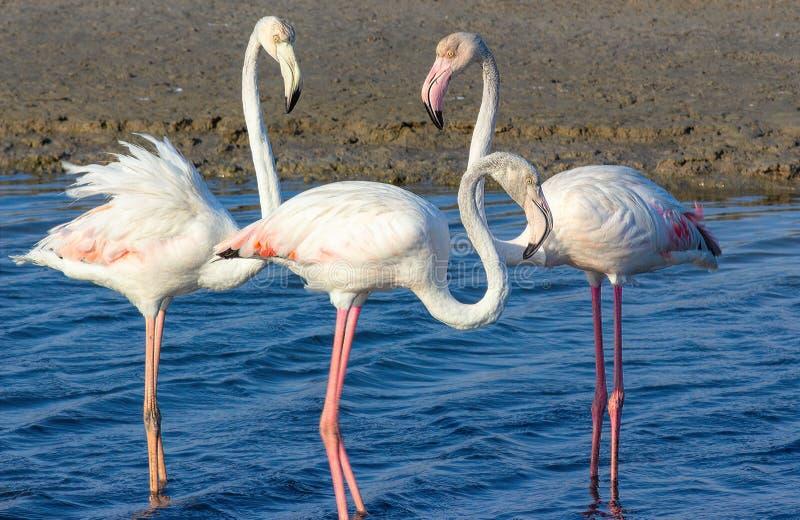 Triangolo amoroso dei fenicotteri rosa nella laguna del mare immagini stock libere da diritti