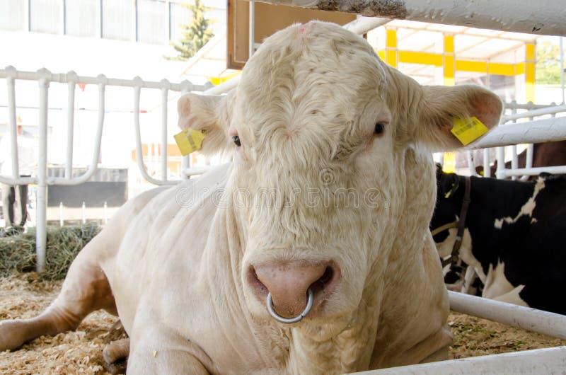 Tribal Bull on the farm stock photos