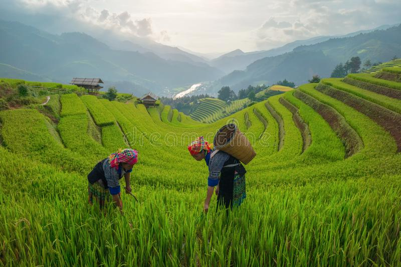 Tribal women, farmers, with paddy rice terraces, agricultural fields in countryside of Yen Bai, mountain hills valley in South. East Asia. Nature landscape royalty free stock image