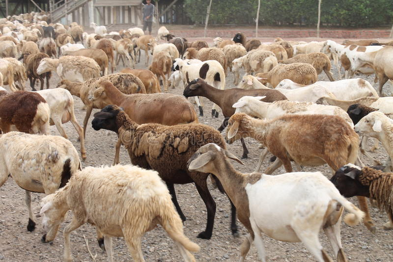 A tribe of Goats stock photos