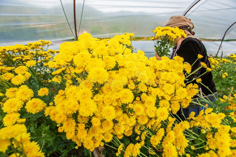 Tribe Hmong women harvesting yellow carnation flowers in the greenhouse. Carnation flowers are in bloom in the greenhouse. Local wisdom, tribe Hmong women stock image