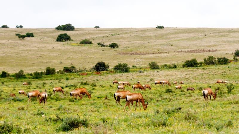 Tribo enorme de Hartebeests vermelho imagem de stock royalty free
