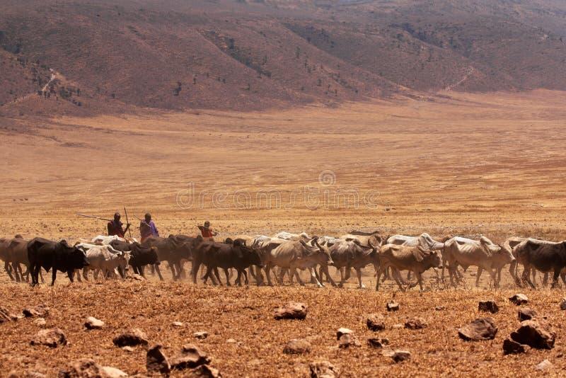 Tribu de Maasai y sus vacas imágenes de archivo libres de regalías