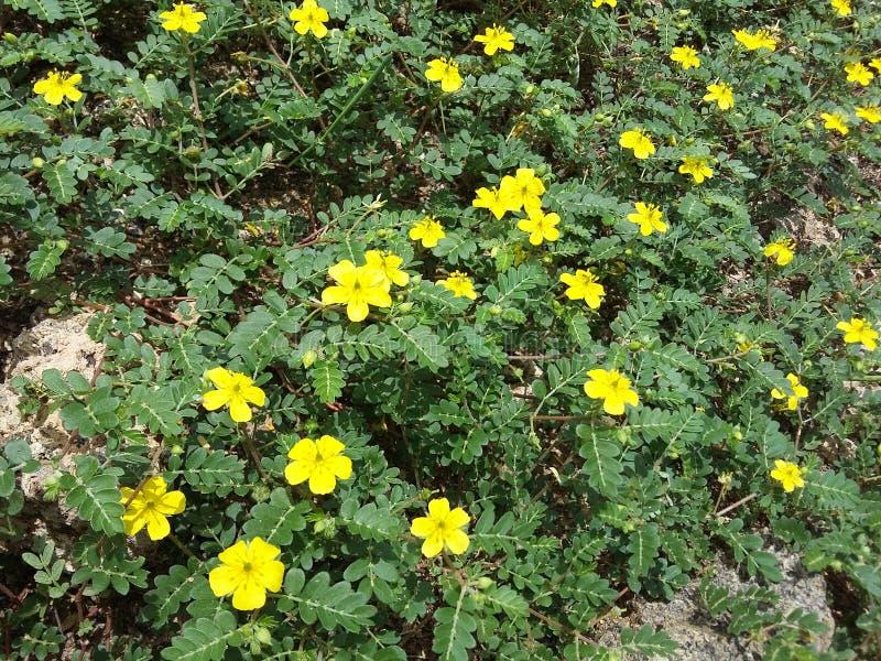 Tribulus-guling blommor royaltyfri fotografi