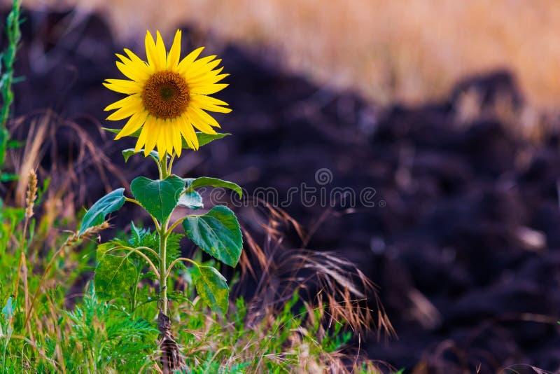 Tribune alleen Zonnebloem Elke sunflower' s het hoofd wordt gemaakt van kleinere bloemen De bloemblaadjes die wij rond de bu stock fotografie
