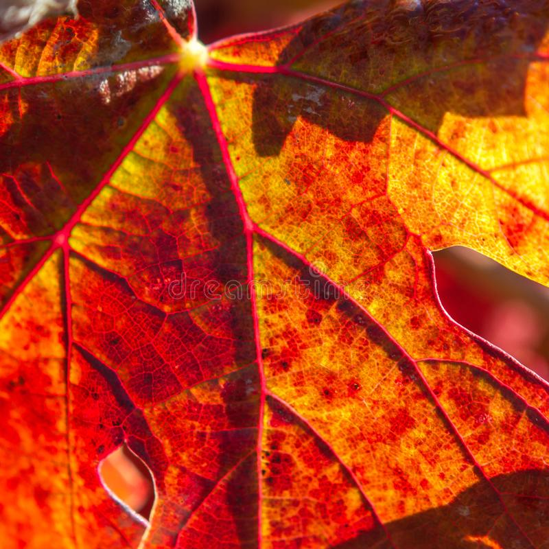 Tributaries - Close-up of autumn grape leaf royalty free stock photography