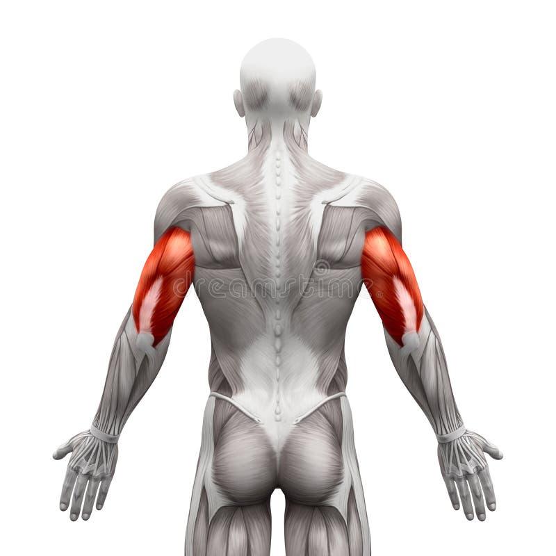 Tricepens tränga sig in - anatomimuskler som isoleras på vit - illustr 3D royaltyfri illustrationer