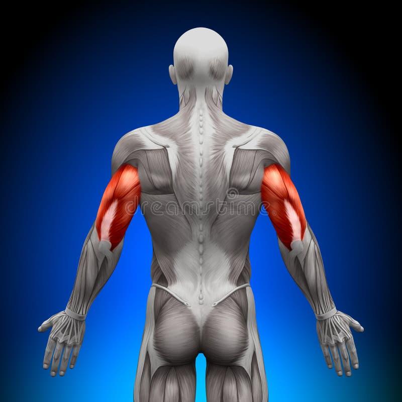 Triceps - anatomimuskler vektor illustrationer