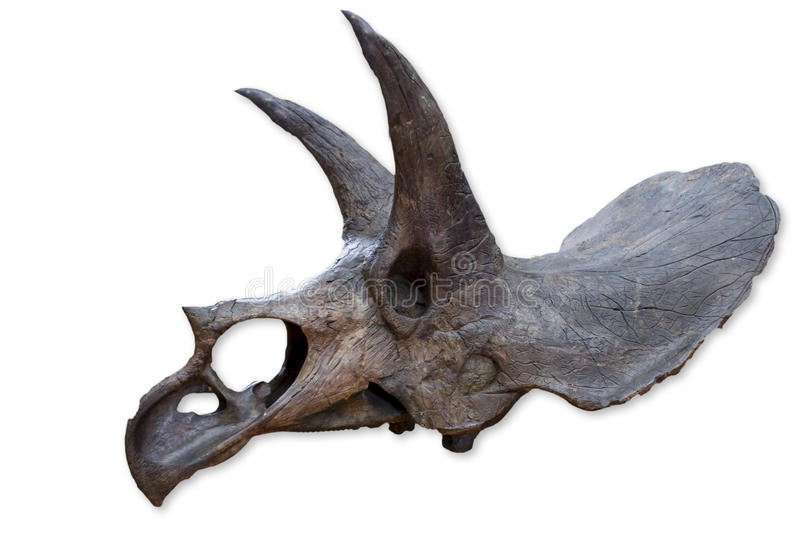 Triceratops. Close up view at Triceratops royalty free stock images
