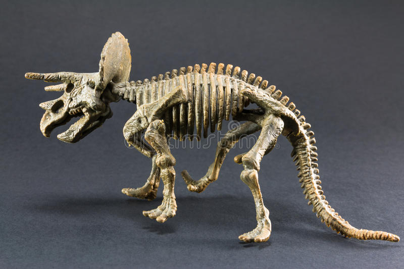 Triceratops fossil dinosaur skeleton model toy. On black background stock images
