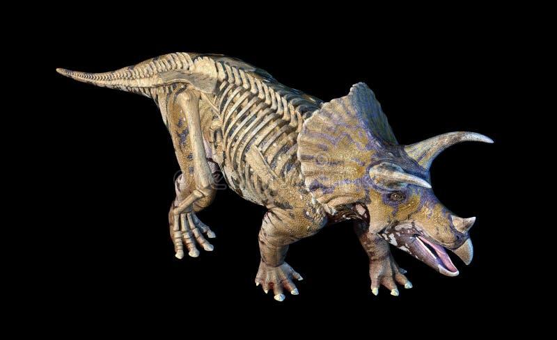 Triceratops mit Wiedergabe des Skeletts 3d auf schwarzem Hintergrund lizenzfreie abbildung
