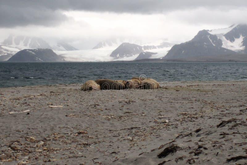 Trichechi alla costa delle Svalbard fotografie stock libere da diritti