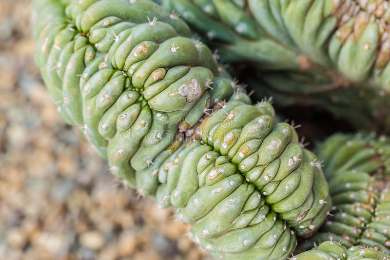 "Trichocereus pachanoi. The typical San Pedro cactus (Trichocereus pachanoi) is a multi-stemmed ""organ-pipe cactus"" with light green stems royalty free stock images"
