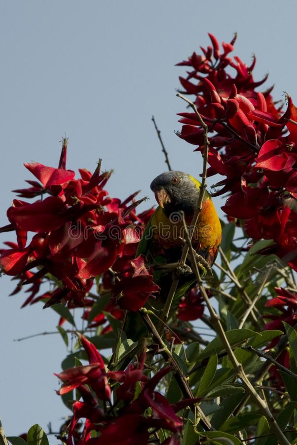 Trichoglossus Moluccanus de lorikeet d'arc-en-ciel entre les fleurs près photographie stock