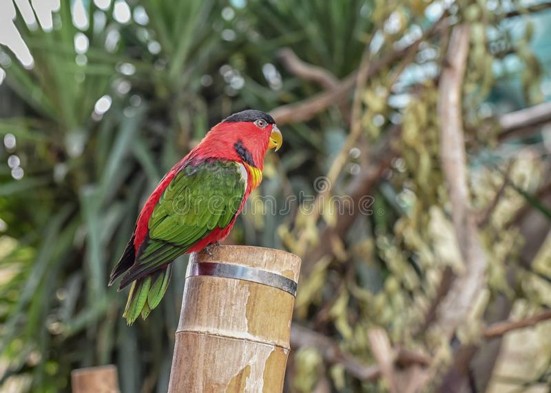 Trichoglossus ornatus, Pragt lori, Ornate lorikeet with blue crown, forehead and band from eye to ear coverts and red throat and. Breast barred with blue. Close stock photography