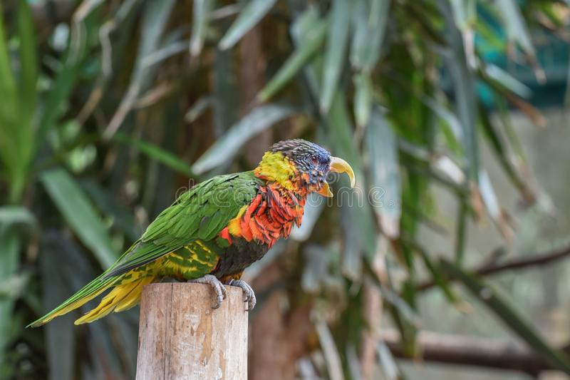 Trichoglossus ornatus, Pragt lori, Ornate lorikeet with blue crown, forehead and band from eye to ear coverts and red throat and. Breast barred with dusty blue royalty free stock images