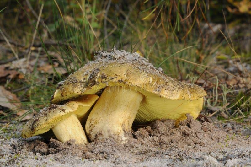 Tricholoma equestre μύκητας στοκ εικόνα