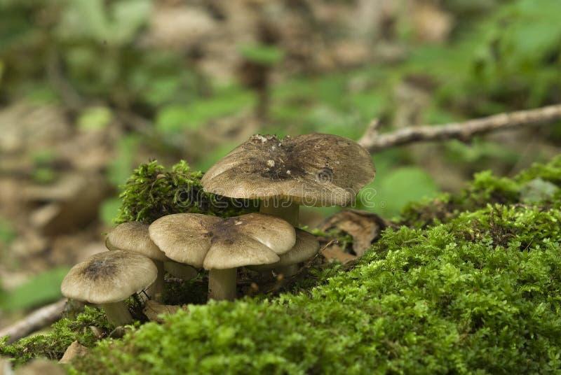 Tricholoma terreum Een groep paddestoelen in een mos stock afbeeldingen