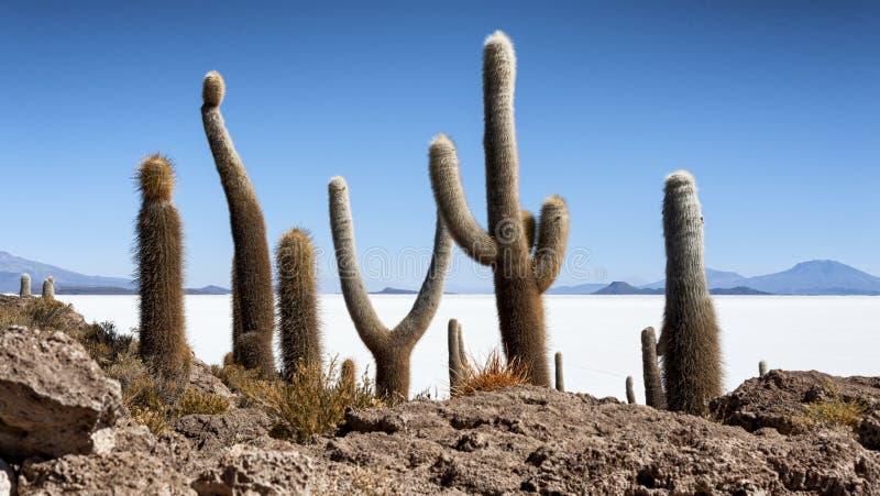 Trichoreceus Cactus on Isla Incahuasi Isla del Pescado in the middle of the world`s biggest salt plain Salar de Uyuni, Bolivia. Trichoreceus Cactus on Isla stock image