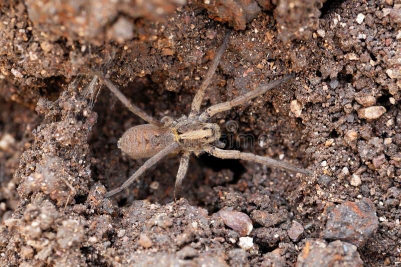 Trichter-Web spider lizenzfreie stockbilder