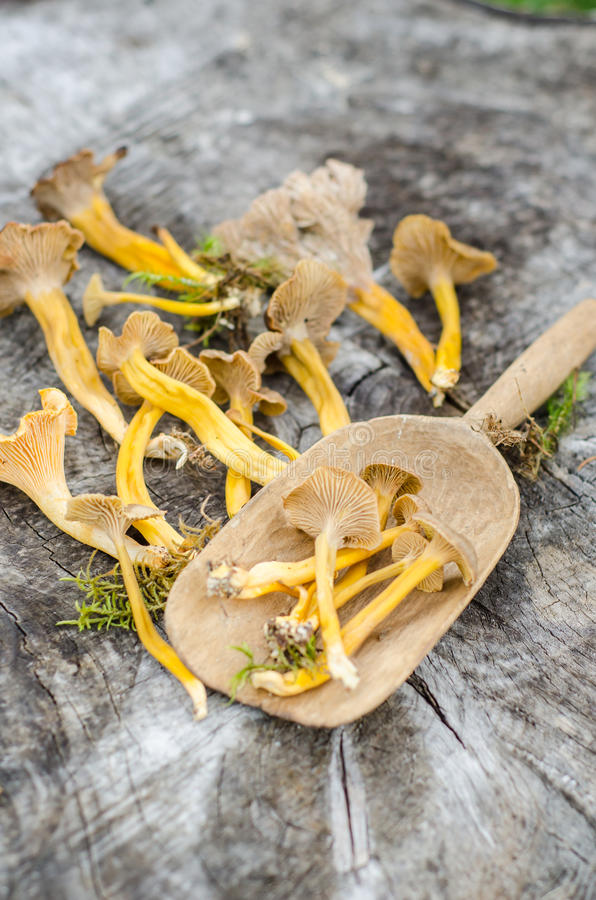 Trichtercraterellus stockbild