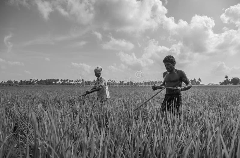 Trichy, Tamilnadu, Indien - 4. November 2018: Zwei Landwirte, die in ihrem Reisfeld an einem klaren sonnigen Tag arbeiten stockfotos