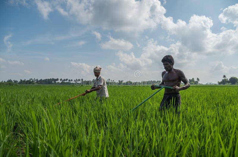 Trichy, Tamilnadu, Indien - 4. November 2018: Zwei Landwirte, die in ihrem Reisfeld an einem klaren sonnigen Tag arbeiten stockfotografie