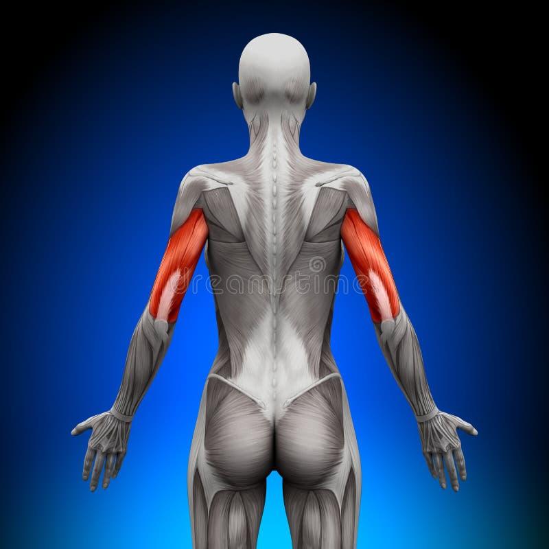 Tricipite - muscoli femminili di anatomia illustrazione di stock