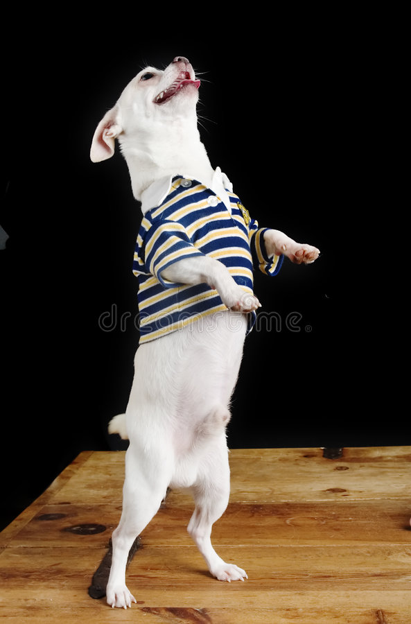 Trick Chihuahua stock photography