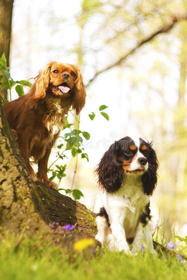 Trick with two fun cavalier king charles spaniel puppy. Two fun cavalier king charles spaniel dog puppy sitting in nature stock photos
