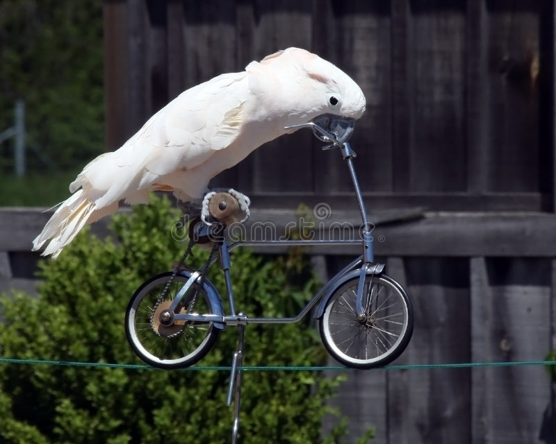 Download Trickster stock photo. Image of avian, high, bicycle, cockatoo - 7996374