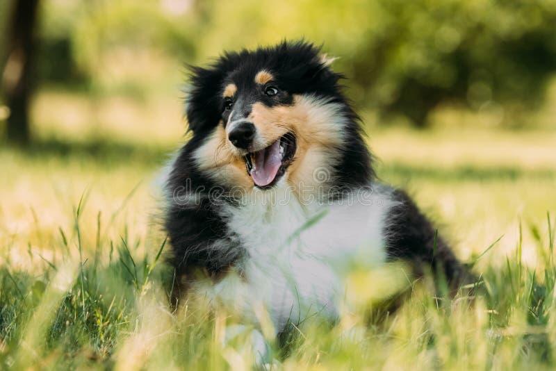 Tricolor грубый щенок Коллиы, смешная шотландская Коллиа, Длинн-с волосами стоковое изображение rf