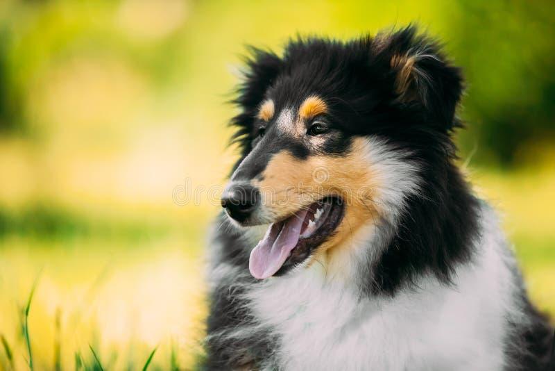 Tricolor грубый щенок Коллиы, смешная шотландская Коллиа, Длинн-с волосами стоковая фотография rf