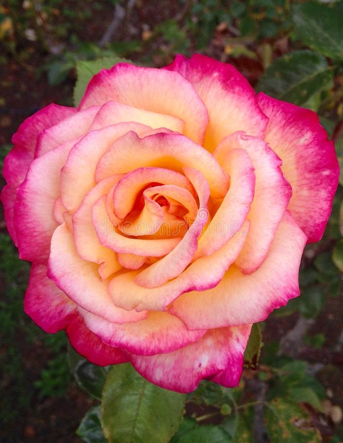 Tricolor Роза стоковые изображения