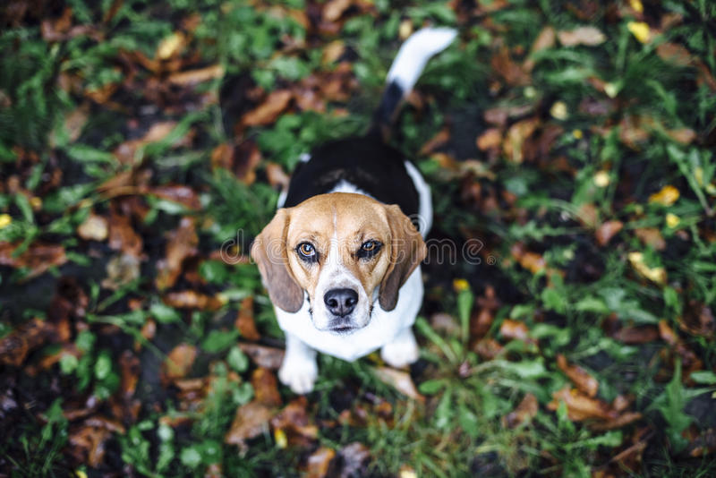 Tricolor собака бигля сидя на упаденных листьях смотря вверх стоковое изображение rf